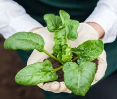 How Long Does It Take To Grow Spinach? 2 Spinach Leaves, Spinach Dip, Planting Spinach, Growing Spinach, Liquid Fertilizer, Organic Fertilizer, Compost Tea, Big Leaves