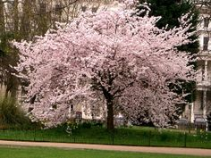 CHERRY BLOSSOM IN FLORIDA | Where can I buy a Happy Tree??