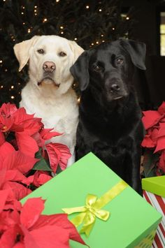 Labs are they the gift or r they getting gifts..nice couple of doggies waiting 4 something under the tree..I hope u get everything u want and have a wonderful life together. peac e b with u