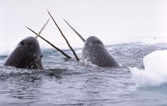 Narwhals, narwhals swimming in the ocean. Causing a commotion, cause they are so awesome