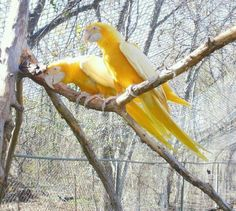 Albino Blue and Gold Macaws: