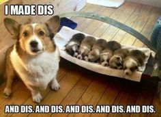 Funny Animal Pictures - View our collection of cute and funny pet videos and pics. New funny animal pictures and videos submitted daily. Corgi Meme, Corgi Dog, Dog Memes, Dog Cat, Corgi Funny, Corgi Socks, Funny Pitbull, Corgi Pembroke, Dachshund