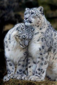 Awesome Big Cat Couple