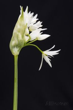 ross-hoddinott-wild-garlic-ramsons-allium-ursinum-in-flower