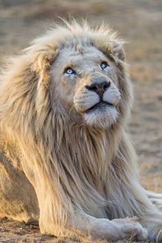 East Urban Home Gerahmtes Poster Anmutiger weißer Löwe Beautiful Cats, Animals Beautiful, Cute Animals, Baby Animals, Gato Grande, Lion Of Judah, Lion Art, Ocelot, Mundo Animal