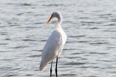 Little Egret - Know as Egretta garzetta - In front of the lake shore