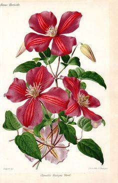 1883 Antique Botanical Print Clematis от AntiquePrintGallery