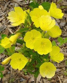 "Oenothera fruticosa ""Sun Drops"" sprawling yellow #perennial bush blooms all summer & spills onto paths.....spreads easily Evergreen.. Reddish in winter"