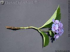 Hortensie vermehren: Stecklinge bewurzeln oder teilen - Blüte mit Stil ins Wasser stellen bis Wurzeln erscheinen, dann pflanzen