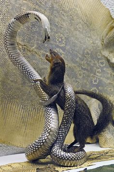 King Cobra and Mongoooose. I normally don't do predation shots, but this one is straight out of Riki Tiki Tavi.