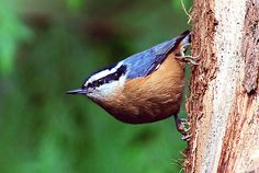Red-breasted Nuthatch   Gallery > Greg S > Photos > Oregon Birds > Red-Breasted Nuthatch