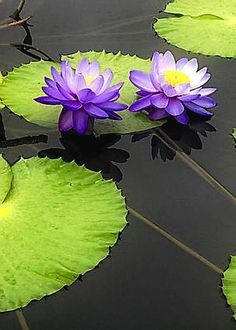 Water Lily Pads in Purple by Timothy Hacker Water Flowers, Purple Flowers, Beautiful Flowers, Pond Plants, Aquatic Plants, Water Plants, Nymphaea Lotus, Lotus Flower Pictures, Lily Pond