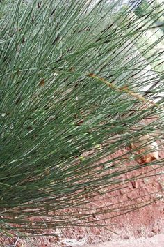 Chondropetalum tectorum (Cape Thatching Reed)