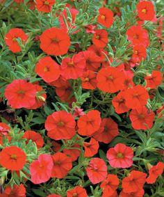 Million Bells® Red - Calibrachoa hybrid Million Bells, Outside Plants, Begonia, Petunias, Proven Winners, My Favorite Things, Garden, Red, Pendants