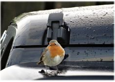 Hope Christmas was all you hoped for and that 2015 is your best year yet. nativeguide.ie  Robin on Jeep, Offaly, Ireland.2014