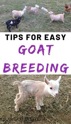 Interested in breeding your goats? Its important to olan your goat breedings so that you are making the improvements in your herd you want. This is a walk through of an awesome toat breeding planning tool! Mini Goats, Baby Goats, Pigmy Goats, Breeding Goats, Goat Shelter, Goat Pen, Goat House, Goat Care, Nigerian Dwarf Goats