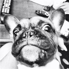 Bulldog Lola