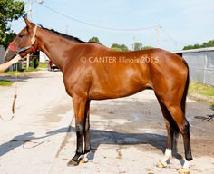 Señor Big Money - 16.3 hand 4 year old bay gelding | Horse Listing | CANTER USA