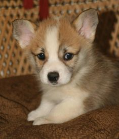 Pembroke Welsh Corgi Dog Breeder Puppies For From A California Offering S