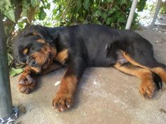 """Explore our site for more info on """"Rottweiler puppies"""". It is a superb place to learn more. Rottweiler Funny, Rottweiler Puppies, Animals And Pets, Baby Animals, Cute Animals, Beautiful Dogs, Animals Beautiful, Pet Dogs, Dog Cat"""