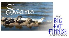 Mamma Swan takes a break. …mamma swan taking a break with her four youngsters (cygnets). #swan #wildlife #raseborg #igersfinland #finland #cygnets #cygnus #mybigfatfinnishportfolio #destinations #birds #goodforthesoul #animals #autumn #finnishnature #imonlysleeping #view #beautifulcreatures #instalike #swans #svan #onthebeach #irishinfinland #naturesbest #swanlake #thebestoffinland #beachlife