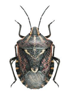 Codophila maculicollis