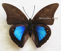 Blue Reflector Prepona Chromus Real Butterfly Framed In Shadowbox by ButterfliesArtist on Etsy