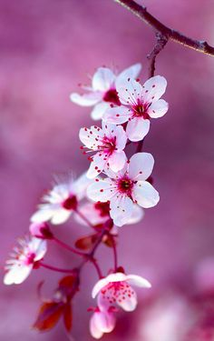 Cherry blossoms in Spain • photo: Ronald Arevalo on 500px
