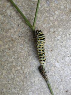 Swallowtail caterpillar sheds its skin.   Photo by Monika Maeckle