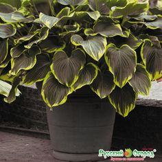 Hosta fluktuans `Black Jade` / Hosta Black jade buy in Moscow at the best prices Source by barbaraza Hosta Plants, Shade Plants, Garden Plants, Trees And Shrubs, Trees To Plant, Dream Garden, Garden Art, Beautiful Gardens, Beautiful Flowers
