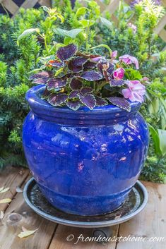 Container Gardening For Beginners Caladiums and Coleus are great shade plants for containers. I really love growing them in large blue pots that look great on my deck. Blue Plants, Tall Plants, Shade Plants, Shade Perennials, Hoya Plants, Flowering Plants, Plants Indoor, Hanging Plants, Potted Plants
