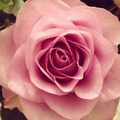 pink rose :)