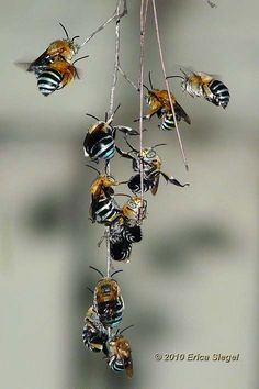 Australian Native blue banded bees roosting