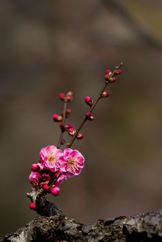 pink plum blossoms by tubasa-wings via Flickr
