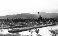Historic Waikiki, Banana Plantation: http://www.hawaiipictureoftheday.com/waikiki-banana-plantation/  #waikiki #hawaii