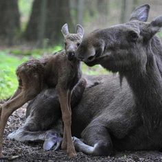 magical moose moment