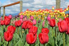 Tulips Skagit Valley WA