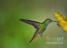 Rufous tailed humming bird
