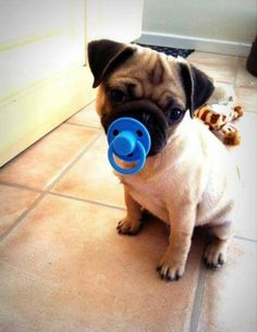 Pug with a binky!! Some people get baby fever, I just want to adopt all the dogs ♥