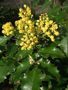 Plum Garden, Grape Plant, Oregon Grape, Native Plants, Pacific Northwest, Garden Plants, Garden Landscaping, Nativity, How To Find Out