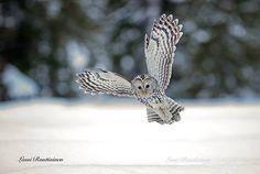 Birds Ural owl  by Lassi Rautianen