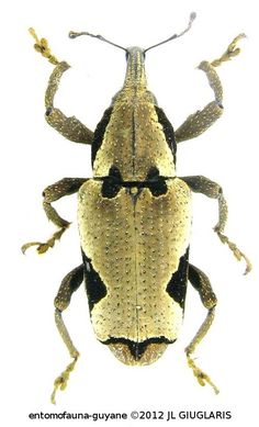 Epistrophus ambitiosus (Chevrolat, 1877)