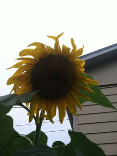 Jessica Jeffries Hamilton - my sunflower posted on sunflower dreams ..