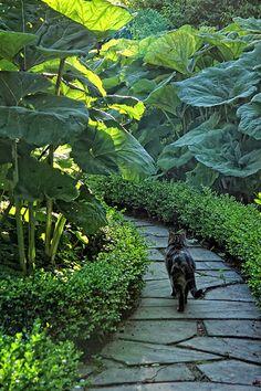 Gunnera and hedge line a path in a garden / Repinned by Llewellyn Landscape & Garden Design www.llgd.co.uk