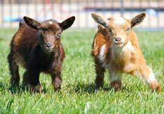 cute goats i melt Mini Goats, Cute Goats, Baby Goats, Cute Baby Animals, Farm Animals, Happy Goat, Lambs, Four Legged, Livestock