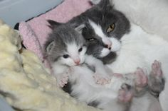 Introducing a Kitten to a Cat The following article has kindly been written for us by the Vital Pet Club– @VitalPetClub on FB & IG. Are you welcoming a new fluff-ball to your home, but wondering how to handle the introduction with your existing pets? There are a few things you can do to help to reduce the risk of conflict […] #Cat, #Cats, #Cute, #Funny, #Katze, #Katzen, #Katzenworld, #Kawaii, #Pets, #ねこ, #猫 #AdviceTips