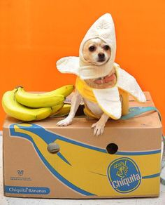 Chica, a 4-year-old Chihuahua, poses for a photo as a Chiquita banana Saturday morning during the PetSmart Halloween Monster  Pet Dress-Up Contest via @Syd Pitts
