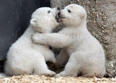 Polar bear cubs :)