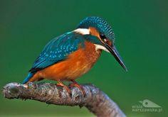 Niesamowita kolorstyka upierzenia (Fot. Paweł Wacławik)