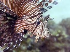 Pterois volitans fish ocean and sea fish